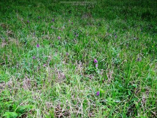Wilgotna łąka ze storczykami